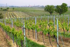 Wineyards in spring royalty free stock photos