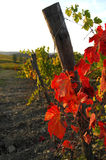 Wineyards in Toscana, Chianti, Italia Immagine Stock Libera da Diritti