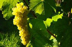 Wineyards in Toskana, Chianti, Italien lizenzfreie stockbilder