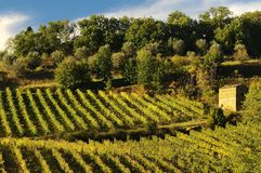 Wineyards in Tuscany, Chianti, Italy. Wineyards in Tuscany, vinegrapes, and leaves vine. Chianti region, in Tuscany, Italy stock photography