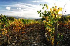 Wineyards in Tuscany, Chianti, Italy. Wineyards in Tuscany, vinegrapes, and leaves vine. Chianti region, in Tuscany, Italy stock images