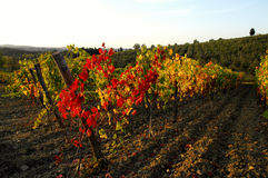 Wineyards in Tuscany, Chianti, Italy Royalty Free Stock Image