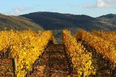 Wineyards in Tuscany, Chianti, Italy. Wineyards in Tuscany, vinegrapes, and leaves vine. Chianti region, in Tuscany, Italy stock photos