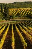 Wineyards in Tuscany, Chianti, Italy. Wineyards in Tuscany, vinegrapes, and leaves vine. Chianti region, in Tuscany, Italy royalty free stock photography