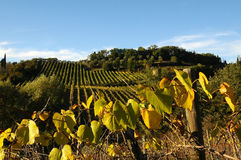 Wineyards in Tuscany, Chianti, Italy. Wineyards in Tuscany, vinegrapes, and leaves vine. Chianti region, in Tuscany, Italy royalty free stock images