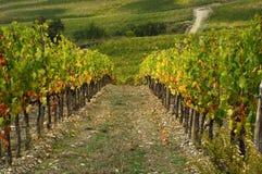 Wineyards in Tuscany, Chianti, Italy. Wineyards in Tuscany, vinegrapes, and leaves vine. Chianti region, in Tuscany, Italy royalty free stock photos
