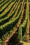 Wineyards in Tuscany in summer, Chianti, Italy stock image