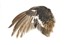 The wing. Wing of a black grouse, is isolated on a white background Royalty Free Stock Images