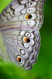Wing. Close up shot of beautiful butterfly's wing Royalty Free Stock Photo
