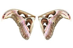 Wing of Attacus Atlas Moth Stock Image