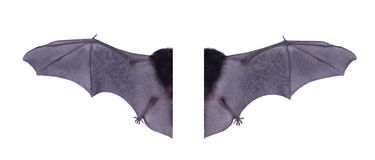 Wing black Bat isolated on white background. Stock Image