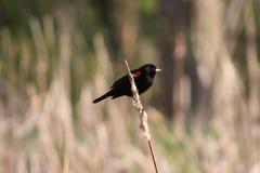 Wing Black Bird rojo Fotografía de archivo libre de regalías