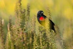 Wing Black Bird rosso Fotografia Stock