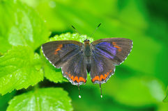 Wing of Butterfly Royalty Free Stock Image