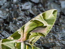Wing of Butterfly Camouflage Royalty Free Stock Image