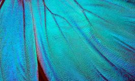 Wing of a butterfly Morpho texture background. Morpho butterfly stock photography