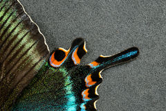 Wing of butterfly. Multicolored Wing of butterfly on gray background Royalty Free Stock Photos
