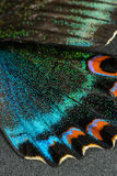 Wing of butterfly. Multicolored Wing of butterfly on gray background Stock Photo