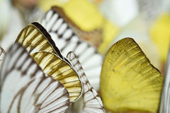 Wing of butterfly Stock Photography
