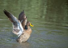 Wing Clapping Yellow Billed Duck. Stock Image