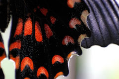 Wing of Common Mormon Butterfly. Royalty Free Stock Image