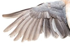 Wing dove on white background Royalty Free Stock Image
