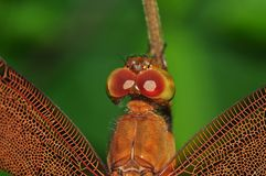 Wing dragonfly of Thailand. Background Stock Photography