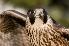 Wing falcon Royalty Free Stock Image