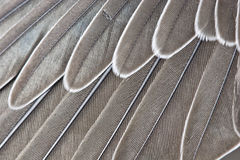 Wing-feathers. Feathers in a wing of the martin Stock Image