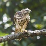 Wing Hawk amplio contra avispa foto de archivo