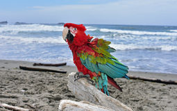 Wing Macaw verde na praia Fotografia de Stock Royalty Free
