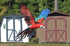 Wing Macaw vert au vol Photos stock