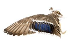Wing of a mallard duck as an air fan in Indian or Esoteric area. Isolated on White stock image