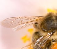 Free Wing Of A Bee On A Flower. Super Macro Stock Photography - 104776772
