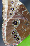 Wing of an owl butterfly Royalty Free Stock Photos