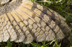 Wing of the owl on the grass. Wing of the owl on the summer grass Royalty Free Stock Photography