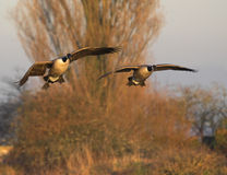 On A Wing And A Prayer. This image was captured at Slimbridge WWT on a cold winter's morning Stock Images