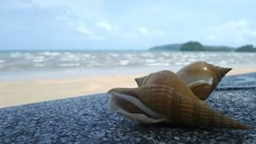 Wing shells, dog conch Royalty Free Stock Photo