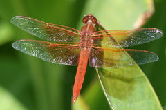 Wing Shine. Red Skimmer showing off its perfect quad wing design Stock Photo