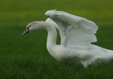 Wing Stretch. Mute Swan stretching it's wings Stock Image
