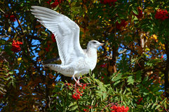 Wing Stretching Ring Billed Gull Royalty Free Stock Photos
