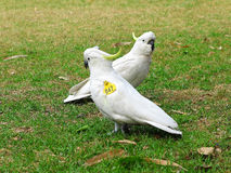 Sulphur-crested Cockatoos wing-tagged  Stock Photo