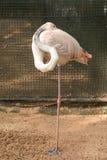 Wing tucked flamingo Royalty Free Stock Image