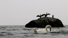 Wing-waving cormorants in East Sea, Göhren, Germany stock video