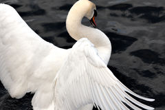 Wing of white swan Stock Photo