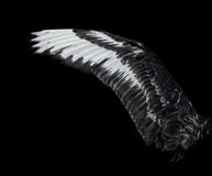 Wing of young black swan. Isolated on black background Royalty Free Stock Photography