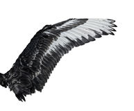 Wing of young black swan. Isolated on white background. Royalty Free Stock Image