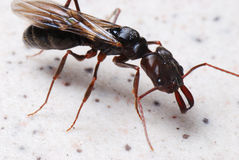 Winged Ant Royalty Free Stock Photography