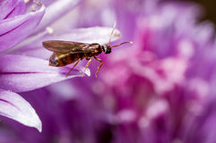 A winged ant on a chive petal Stock Image