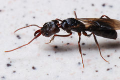 Winged Ant With Mandibles Stock Photos